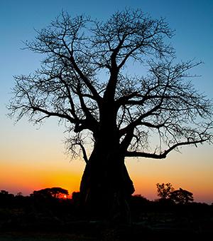 Baobab Bob - Poem by Michael Shepard